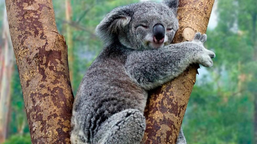 "Australia declara ""funcionalmente extinto"" al koala; se estiman solo quedan 80 mil ejemplares en aquel país - Australia declara funcionalmente extinto al koala; se estiman solo quedan 80 mil ejemplares en aquel país. Foto Twitter @savethekoala"