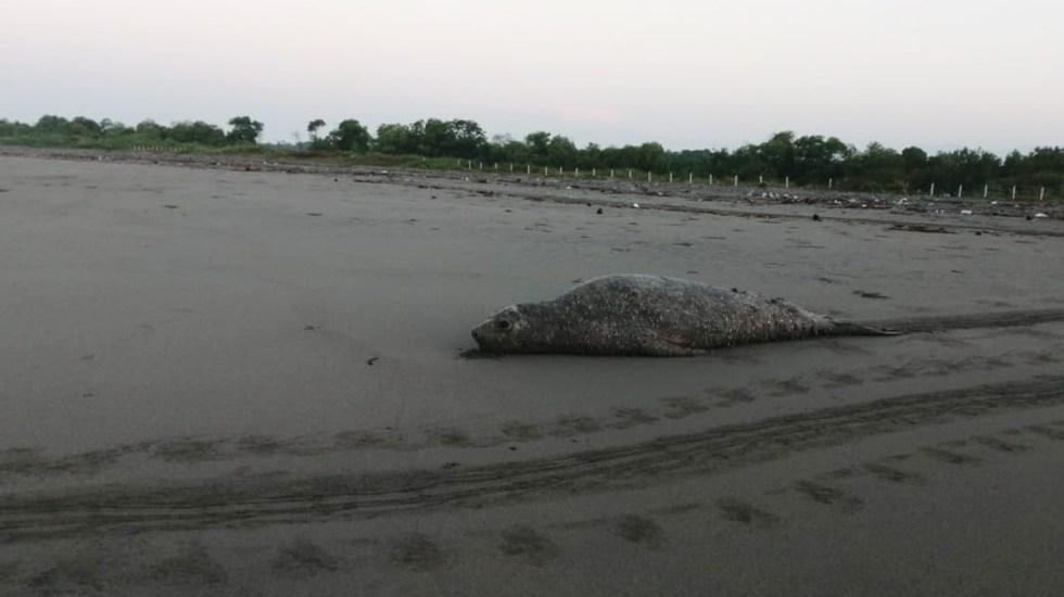 #Video Visita elefante marino de la Patagonia playa de Chiapas - Elefante marino del sur en Chiapas. Foto de @SemahnChiapas