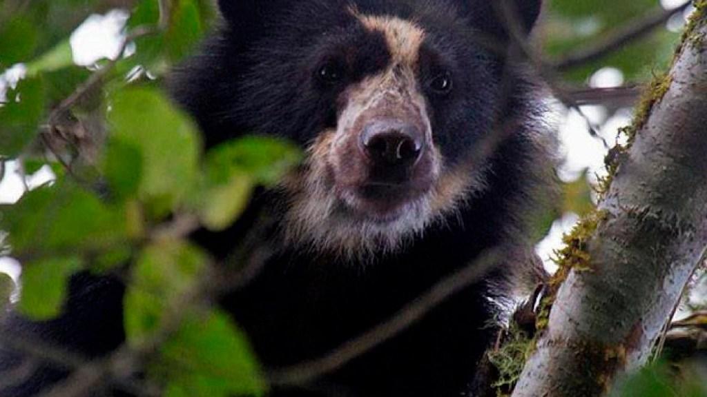 Autoridades hallan osos andinos, especie en extinción, cerca de zona en Ecuador - Autoridades hallan osos andinos, especie en extinción, cerca a una zona ganadera en Ecuador. Foto Twitter @unep_espanol