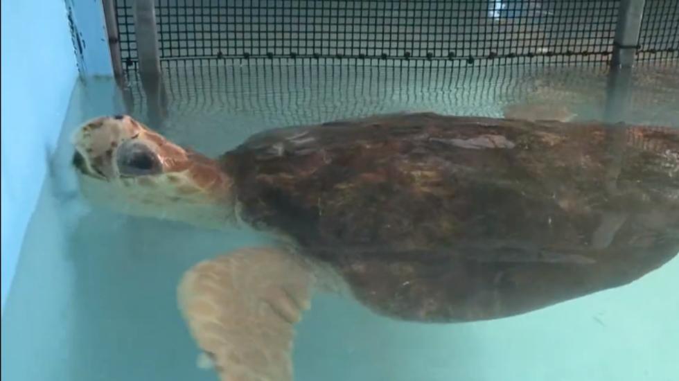 Del frío de Massachusetts a Florida: las tortugas tambien vuelan. Noticias en tiempo real