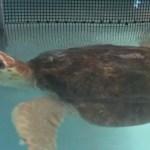 Del frío de Massachusetts a Florida: las tortugas tambien vuelan