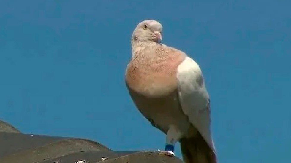 """Australia planea sacrificar a 'Joe', paloma procedente de EE.UU. por ser un """"riesgo biológico"""" - Australia planea sacrificar a 'Joe', paloma procedente de EE.UU. por ser un"""