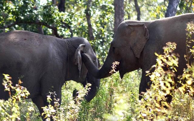 Liberan a elefantes en Vietnam de esclavitud para entretenimiento - Gracias al proyecto Animals Asia alrededor de 100 elefantes han sido liberados de trabajos forzados y de entretenimiento para vagar libremente por el parque nacional Yok Don, en Dak Lak, Vietnam. Foto de EFE
