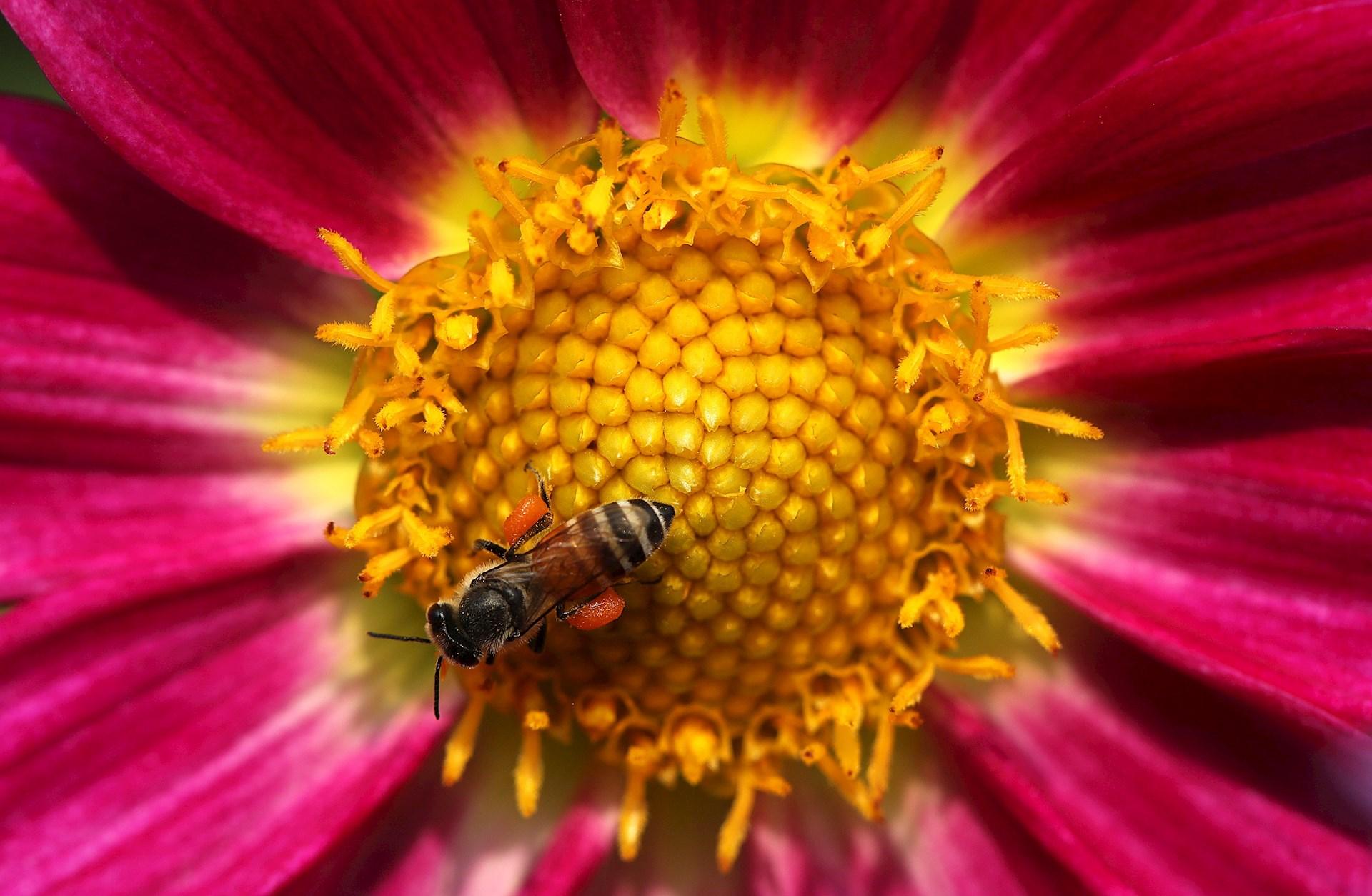 Una abeja recolecta el néctar de una flor en los Jardines Murghal dentro del complejo del Palacio Presidencial, este jueves en Nueva Delhi, India. Foto de EFE/ Harish Tyagi.