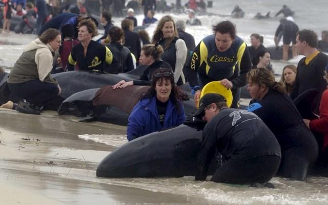 Decenas de ballenas quedan varadas por segunda vez en Nueva Zelanda - Ballenas Nueva Zelanda varadas