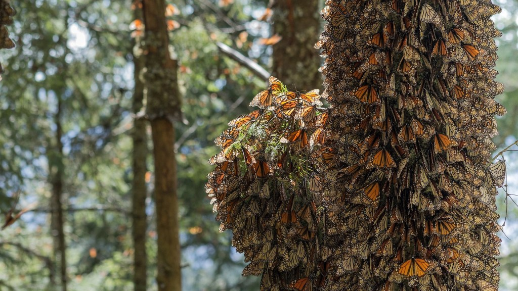 Presencia de mariposa monarca cayó 26 por ciento en bosques mexicanos en un año - Mariposas Monarca Michoacán