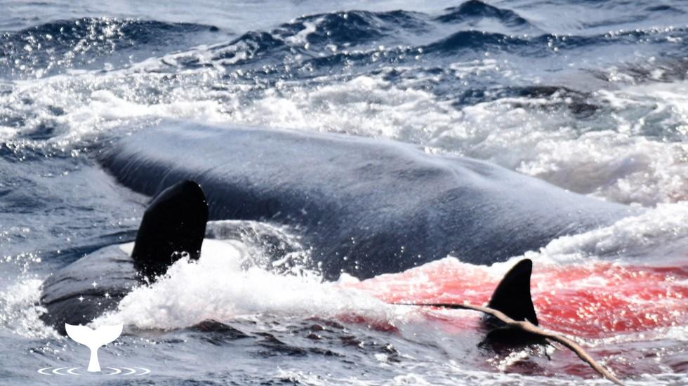 #Video Manada de orcas devora ballena azul; caza duró tres horas - Caza de ballena azul en Australia. Foto de Whale Watch Western Australia