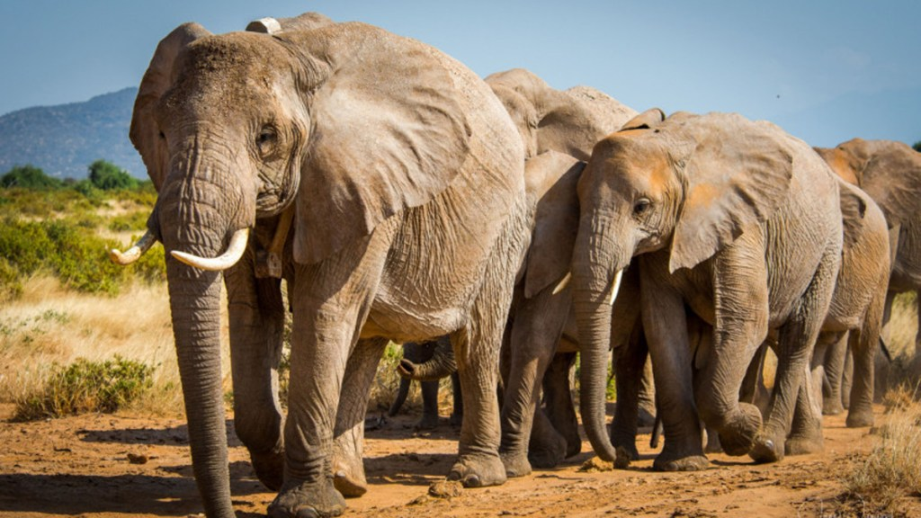 Dos especies de elefantes africanos entran a lista de animales en peligro de extinción - Elefantes de la sabana. Foto de UICN