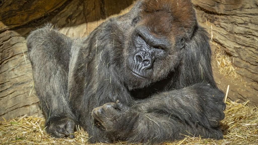 Simios de zoológico en California reciben vacuna contra COVID-19 - Grandes simios California