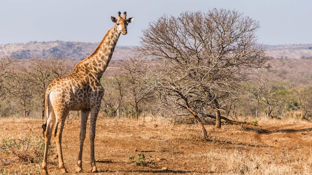 ¿Por qué las jirafas tienen esas características biológicas únicas? - Jirafa en Sudáfrica. Foto de howling red / Unsplash