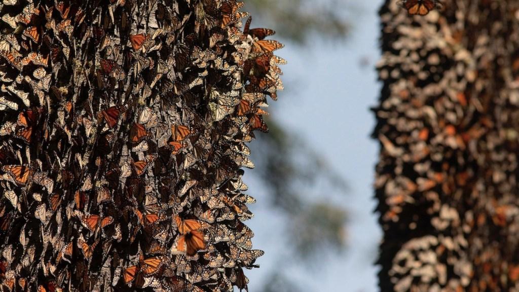 Mariposas monarca inician regreso a Canadá tras una de sus peores estancias en México - Mariposas monarca en Michoacán. Foto  de EFE