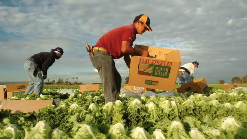 Mexicanos trabajan el campo en Puerto Rico ante falta de mano de obra local - Trabajadores mexicanos en Puerto Rico. Foto de EFE