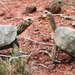 Liberan 191 tortugas gigantes en Galápagos
