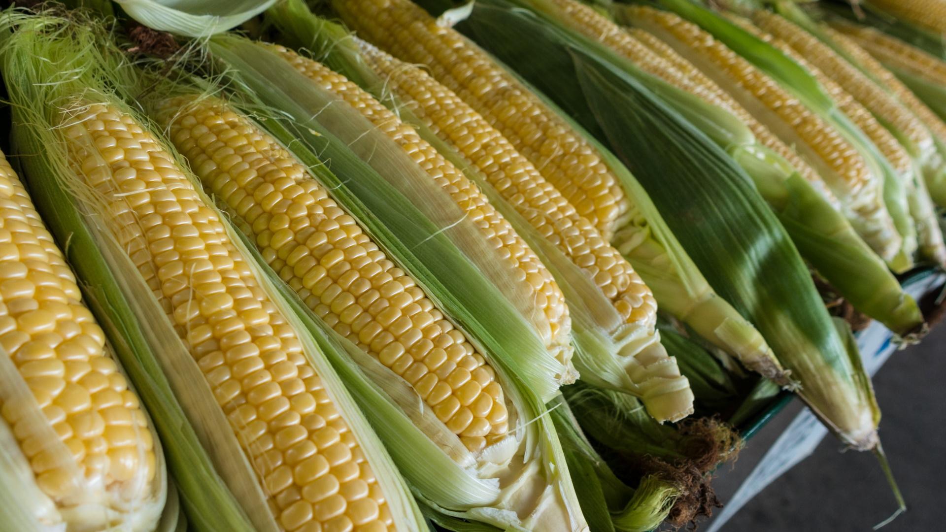 Monsanto Maíz agricultura plantación plantas 2