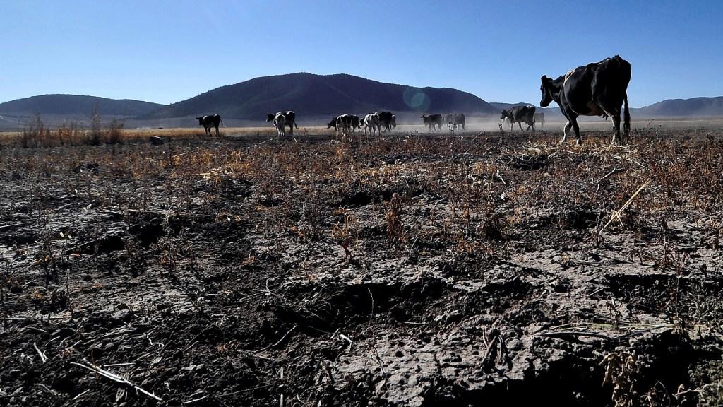 NASA advierte por grave sequía en México - Reses en temporada de sequía, en la comunidad ejidal de Matamoros, en Nuevo León. Foto de EFE