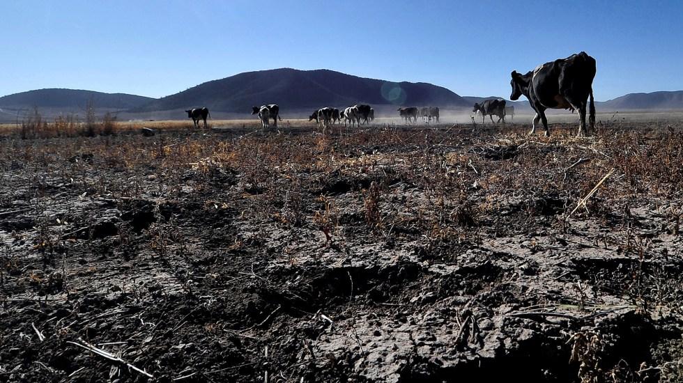 Sequía aumentará precio de granos y carne, advierte industria agrícola - Reses en temporada de sequía, en la comunidad ejidal de Matamoros, en Nuevo León. Foto de EFE