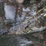 #Video Cocodrilo arrastra a mujer a laguna de Tampico y la ahoga