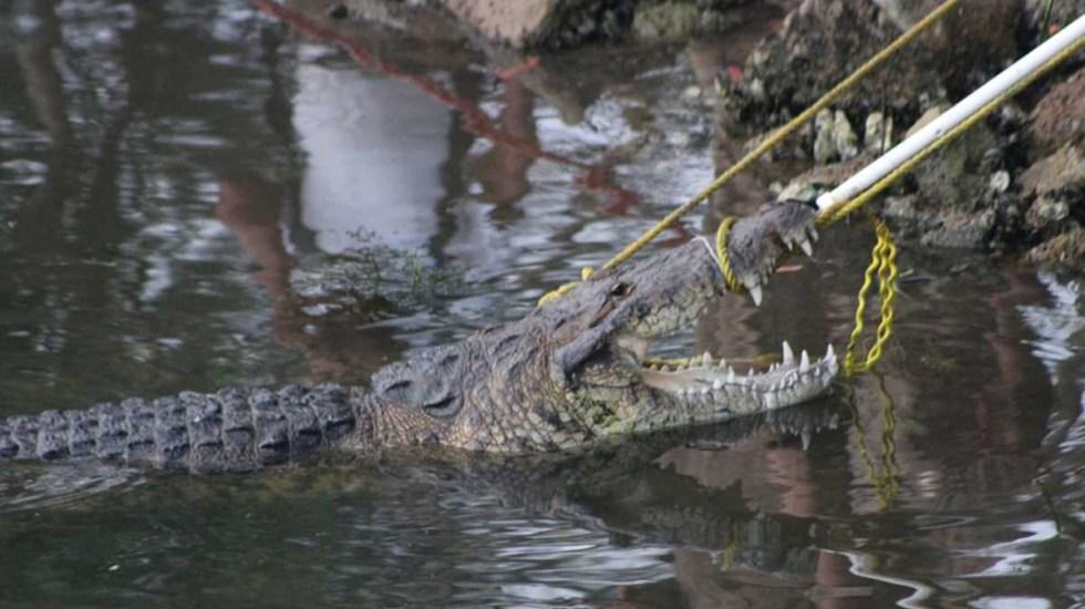 #Video Cocodrilo arrastra a mujer a laguna de Tampico y la ahoga - Cocodrilo que arrastró a laguna a mujer y la ahogó, en Tampico. Foto de Milenio