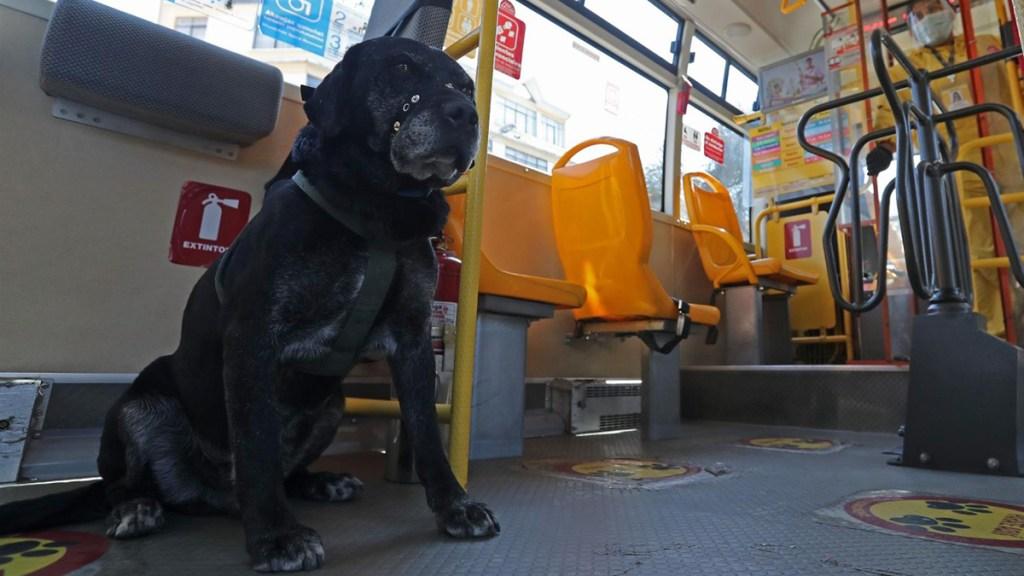 Don Alonso, el perro que ama viajar en el transporte público de Bolivia - don alonso, el perro que ama viajar en transporte público de bolivia