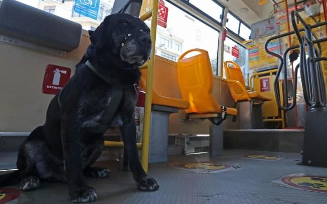 'Don Alonso', el perro que ama viajar en el transporte municipal de la capital boliviana - don alonso, el perro que ama viajar en transporte público de bolivia