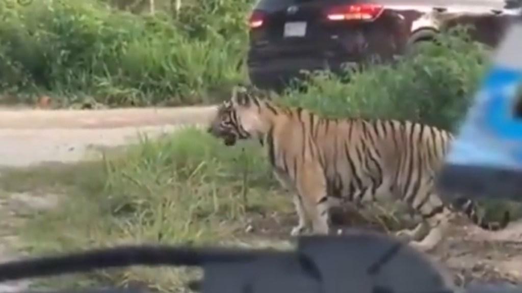 Tigre sorprende en carretera de Cancún a automovilistas - Tigre carretera Cancún