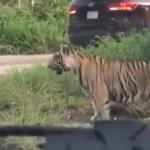 Tigre sorprende en carretera de Cancún a automovilistas