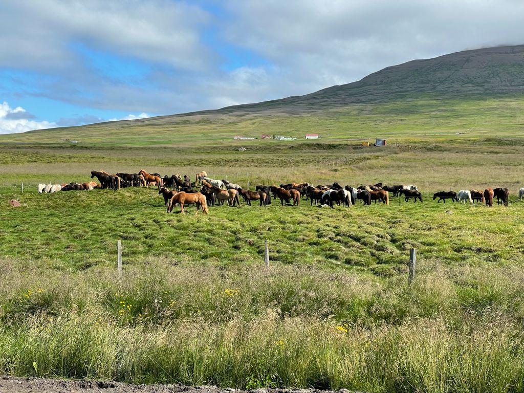 Caballos de Islandia.