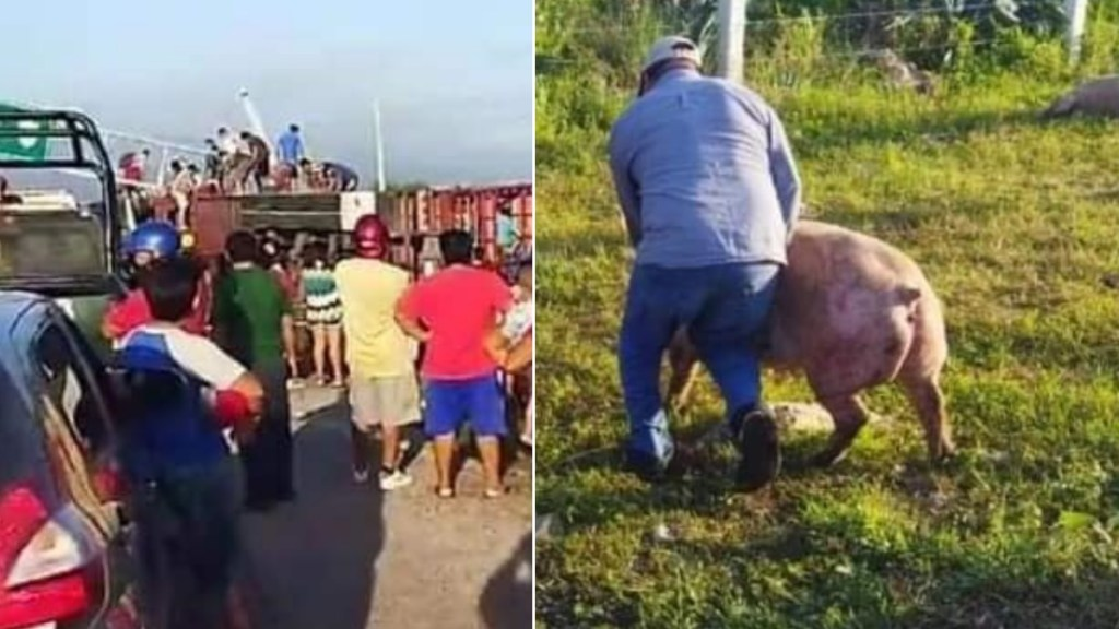 #Video Vuelca tráiler con cerdos en Campeche; pobladores hacen rapiña - Cerdos Campeche carretera tráiler vuelca