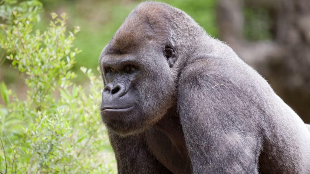 Gorilas Atlanta COVID-19