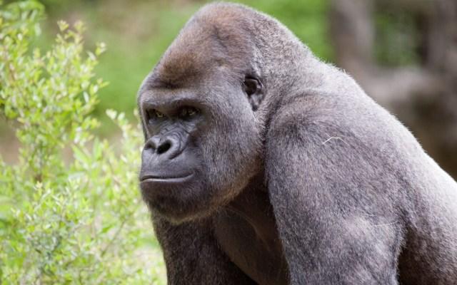 Gorilas dan positivo a COVID-19 en zoológico de Atlanta - Gorilas Atlanta COVID-19