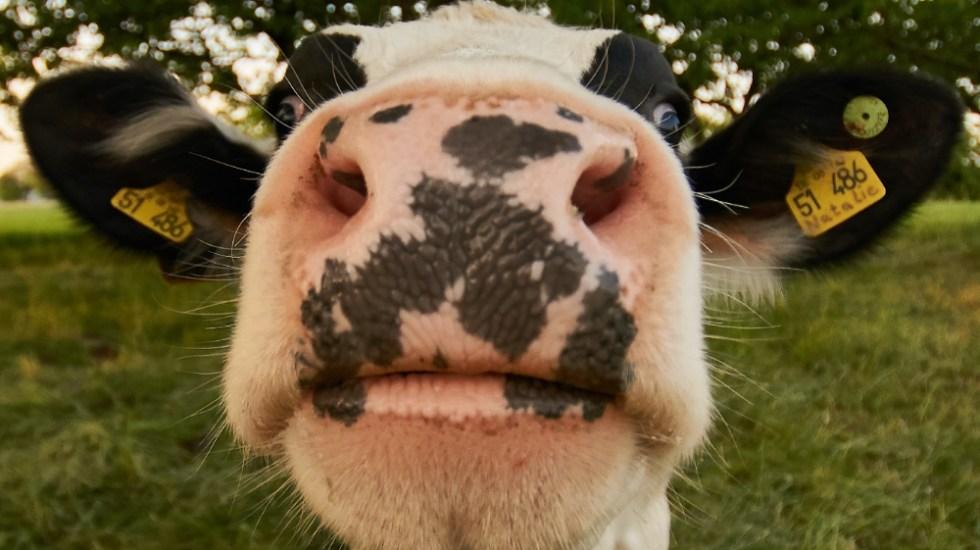 """Brasil detecta dos casos atípicos de """"vacas locas"""" - vacas locas"""
