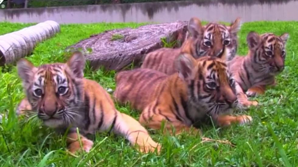 Cuatro cachorros de tigre deleitan a visitantes de zoológico en Guadalajara - cachorros Tigres zoológico Guadalajara