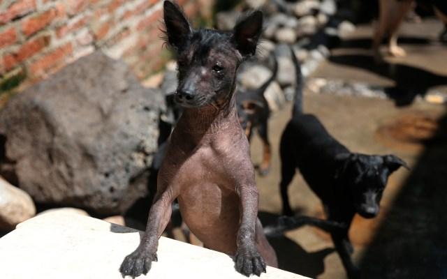 De guía de los muertos a raza de moda: el perro Xoloitzcuintle - Fotografía de  un cachorro de la raza Xoloitzcuintle en el criadero Xolos Tarango. Coral tiene apenas tres meses, por lo que todavía desconoce el simbolismo que acarrea su linaje para millones de mortales. Es un perro xoloitzcuintle, una milenaria y peculiar raza sin pelo que se encarga de guiar a las almas y que se ha convertido en un símbolo del Día de Muertos. Foto de EFE/Sáshenka Gutiérrez