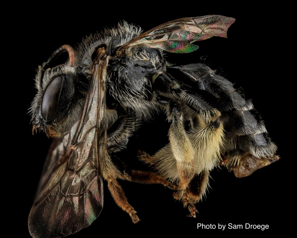 Members of the bee family Melittidae generally do not have common names. Four species of melittid bees, all native to North America, have been recorded in Pennsylvania (Donovall and vanEngelsdorp 2010). Worldwide, there are 203 species in this family (Ascher and Pickering 2018).