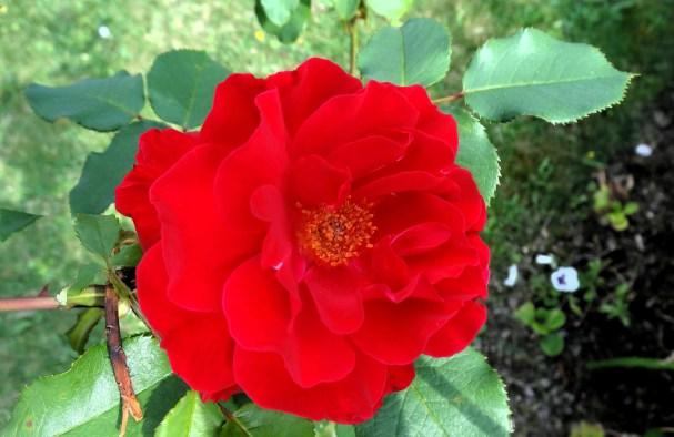 rose-jardindesplanres-nantes-curiouscat-dsc05972-min