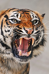 Angry tigress por Tambako the Jaguar, en Flickr