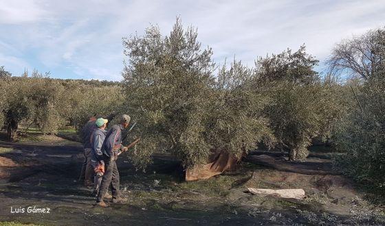 El Gobierno Central aprueba la norma de calidad del aceite de oliva, renovando  la normativa