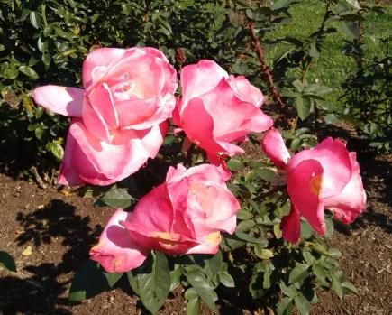 oct-16-rose-pink