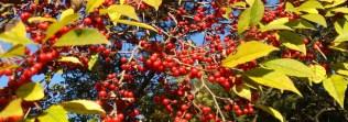 winterberry