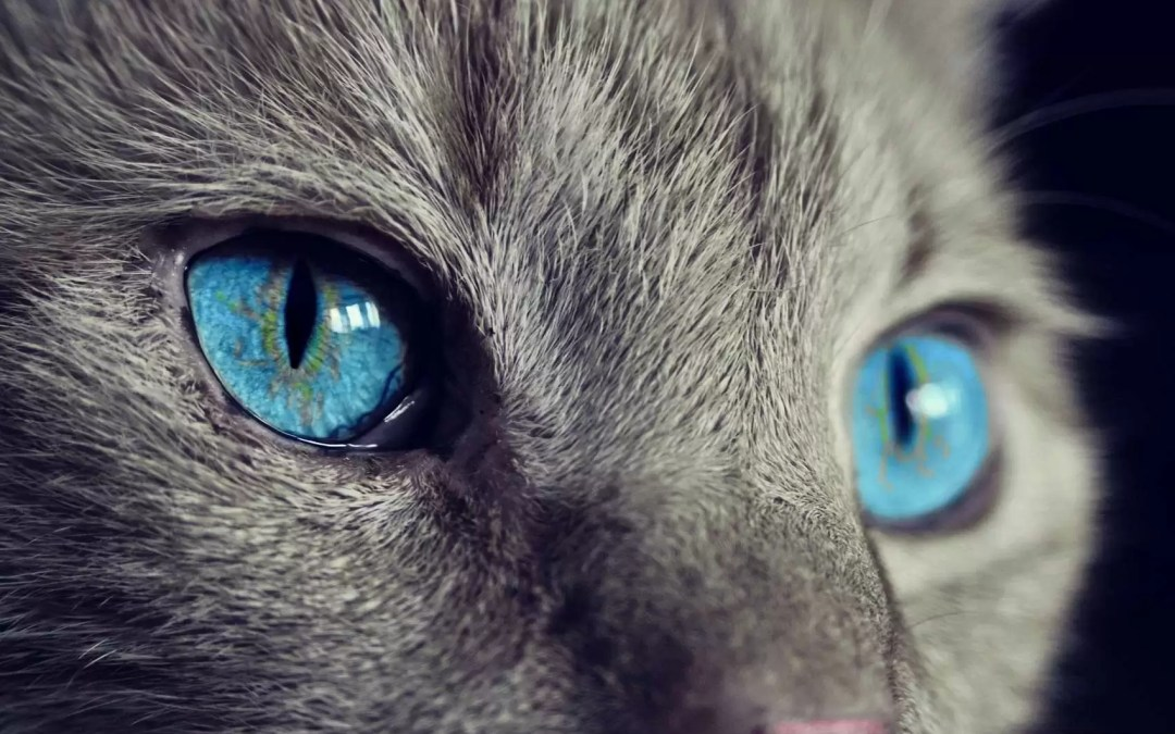 Animal totem : le chat