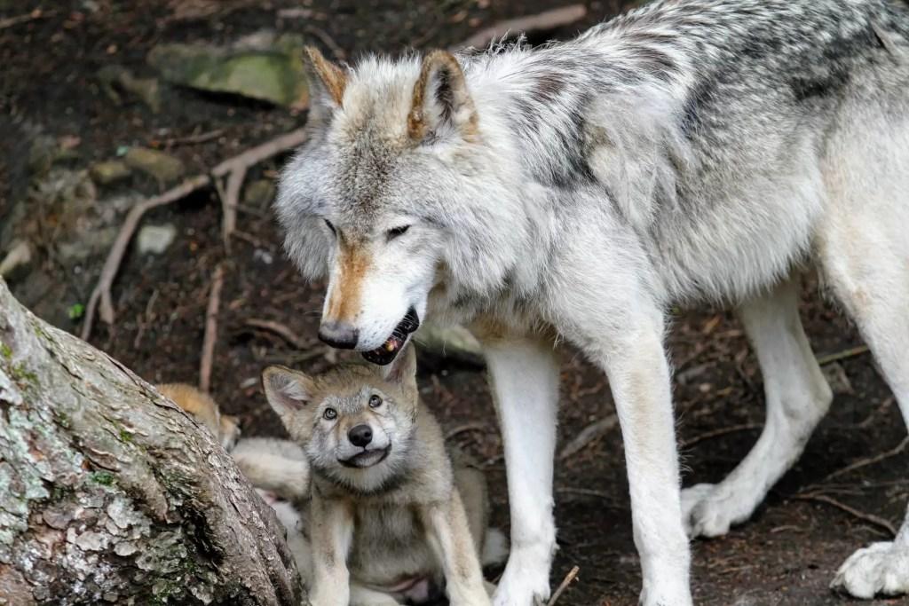 Photo d'un loup gris prenant soin de son louveteau.