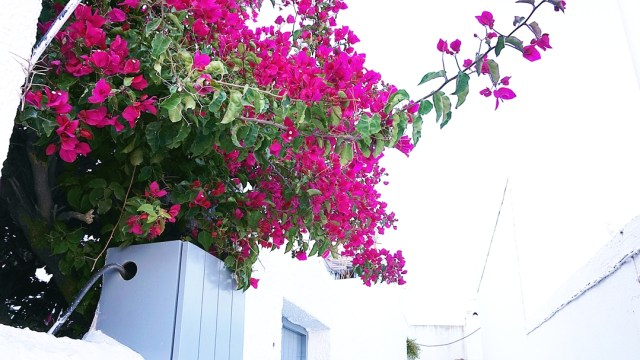 amazing flowers from Santorini, Pyrgos