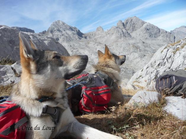 chien-loup-tchecoslovaque-trek