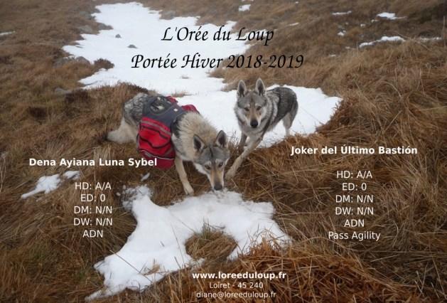chiots-chien-loup-tchecoslovaque-portee-2018-orleans-l-oree-du-loup