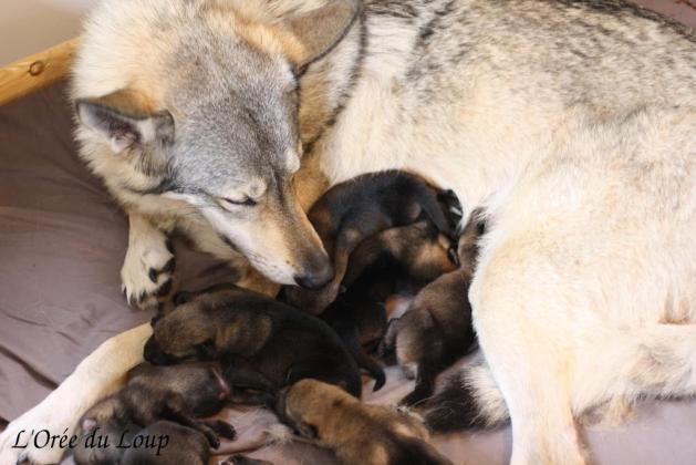 chiots chien loup tchécoslovaque