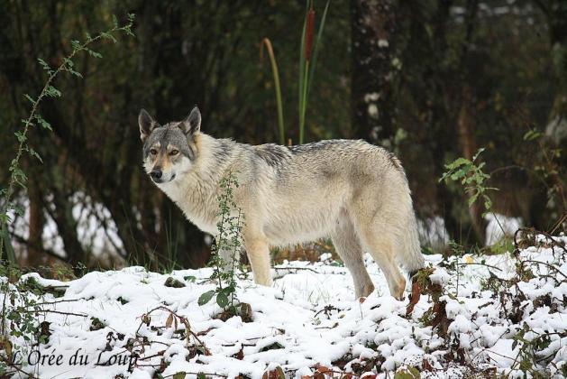 chien loup tchécoslovaque gestation