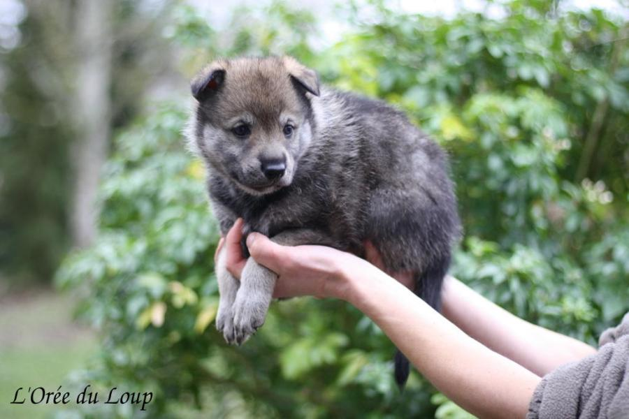 chiot chien loup tchecoslovaque