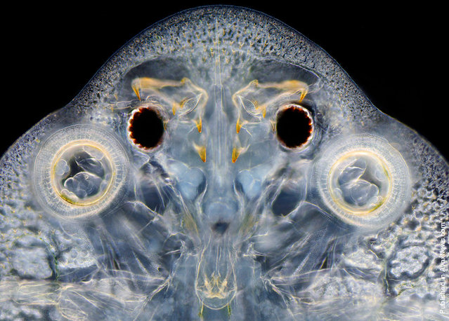 A fish louse (Argulus), viewed at 60x by Wim van Egmond of the Micropolitan Museum in Rotterdam, Netherlands