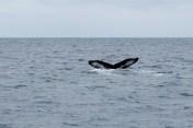 la queue de la baleine/ tail of the whale