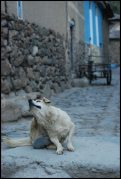 sac à puces / dog in ollantaytambo